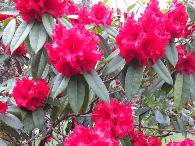 ニュージーランド シャクナゲ ピンク