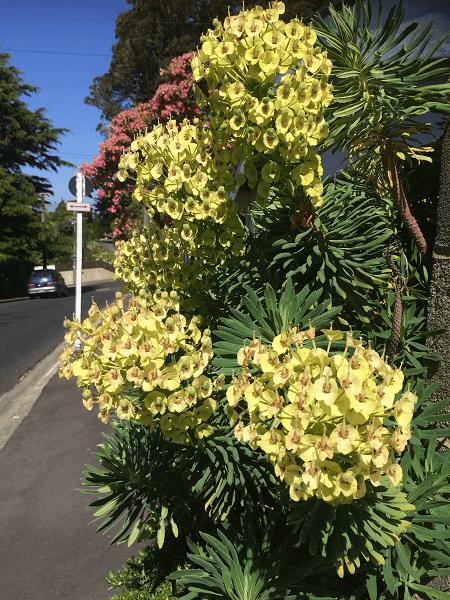 ニュージーランド ユーフォルビア
