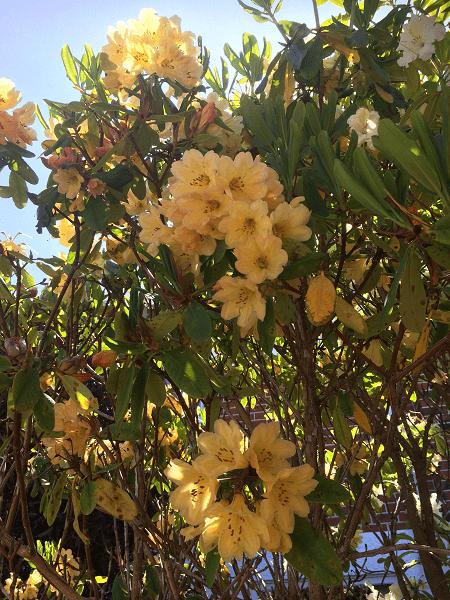 ニュージーランド シャクナゲ 黄色
