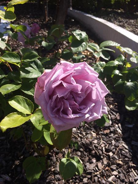 ニュージーランド バラ ブルームーン