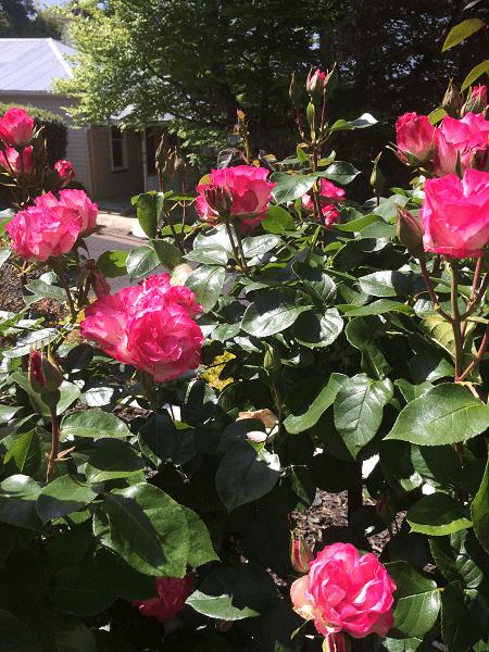 ニュージーランド ピンクのバラ