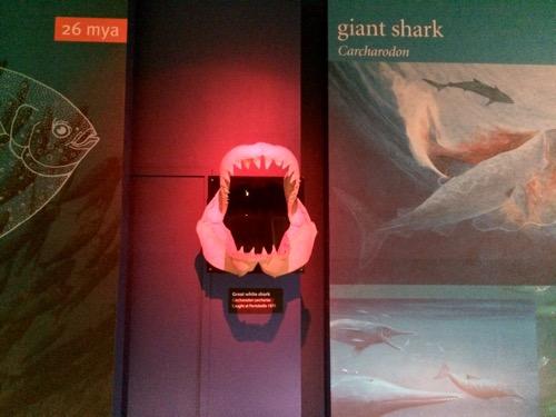 オタゴ博物館 オタゴ湾で見つかったサメ