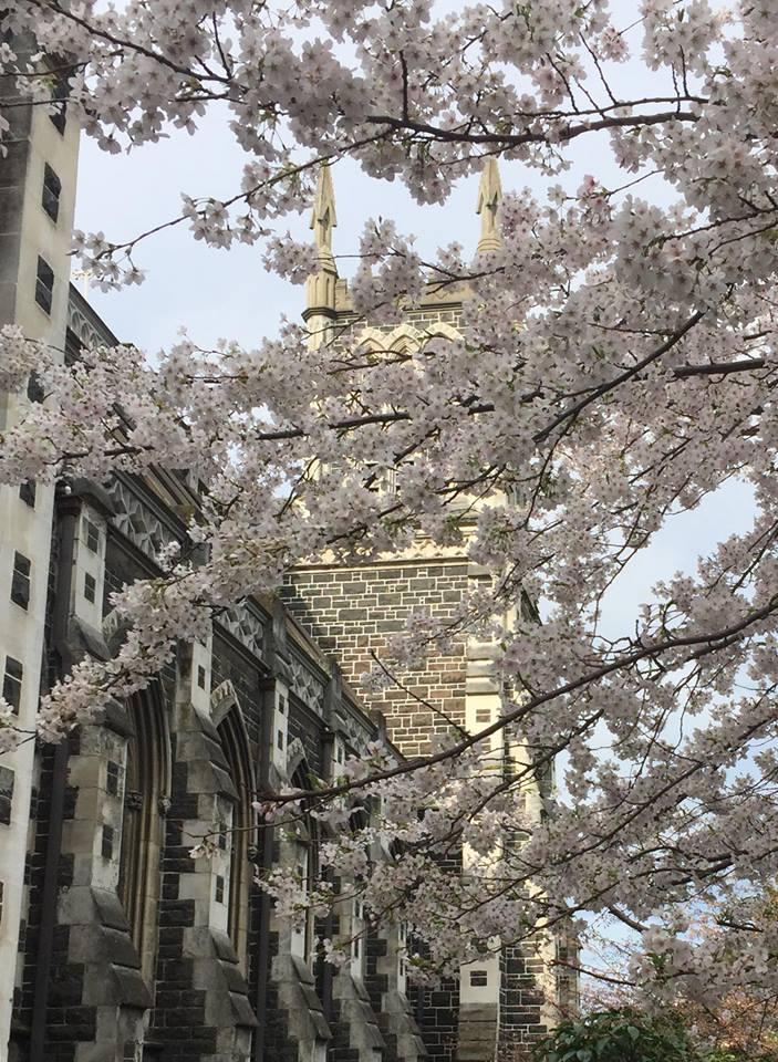 ダニーデン セント ジョセフズ大聖堂の桜