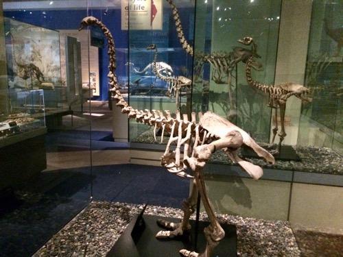 オタゴ博物館 大きなモアの骨