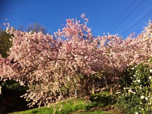 ダニーデンの桜 (2)
