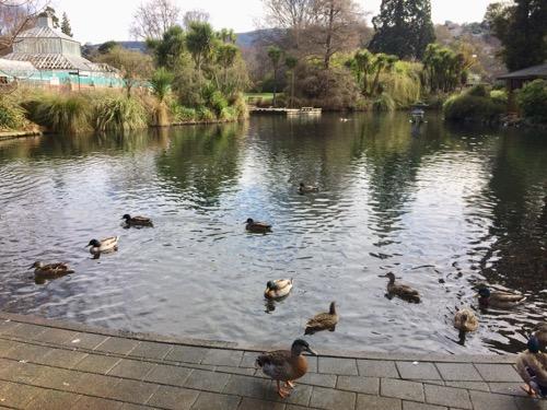 ダニーデン植物園 池とカモ