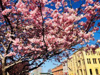 ダニーデンの桜が満開