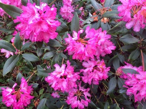 ダニーデン植物園 シャクナゲ ピンク