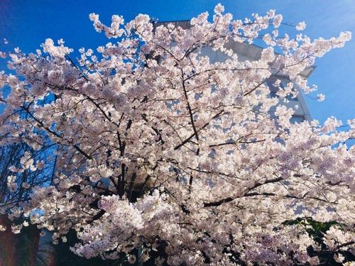 ダニーデンの桜 (6)