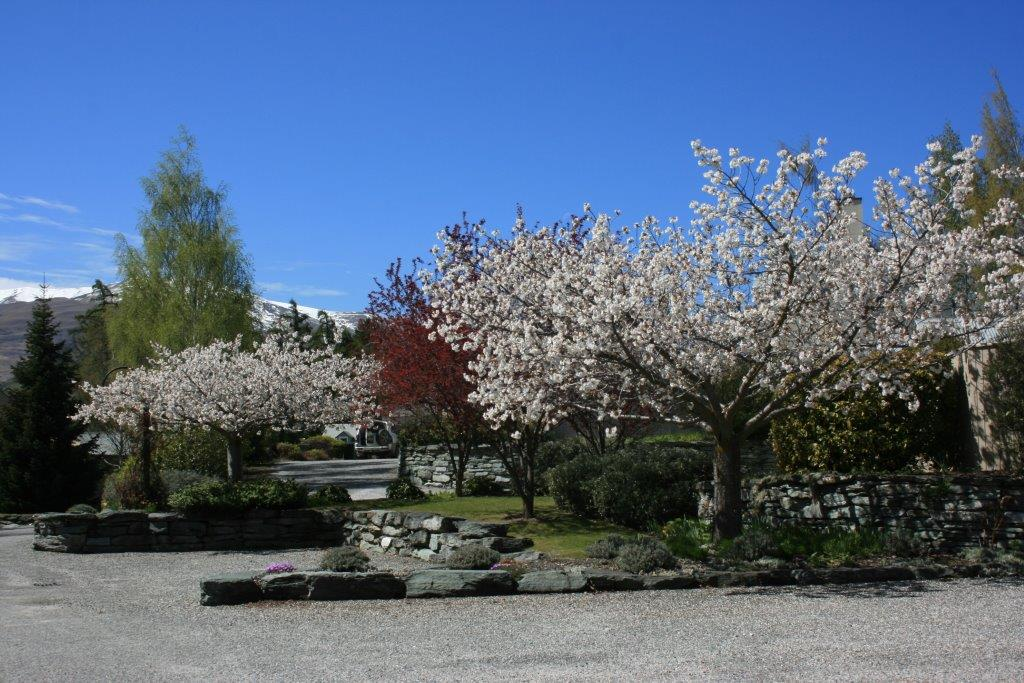 Prunus-shirotae-Arrowtown-Oct-2010