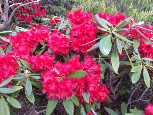 ダニーデン植物園 シャクナゲ 赤2