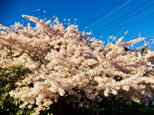 ダニーデンの桜 (1)