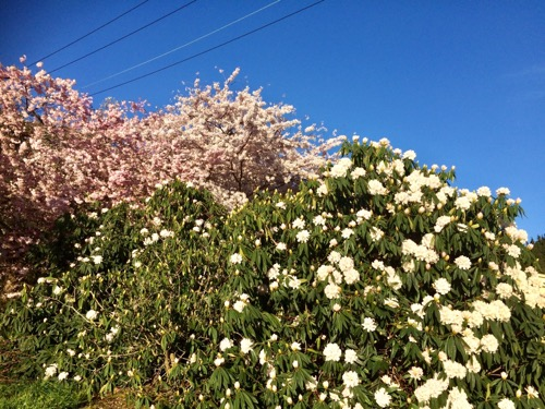 ダニーデンの桜 (3)
