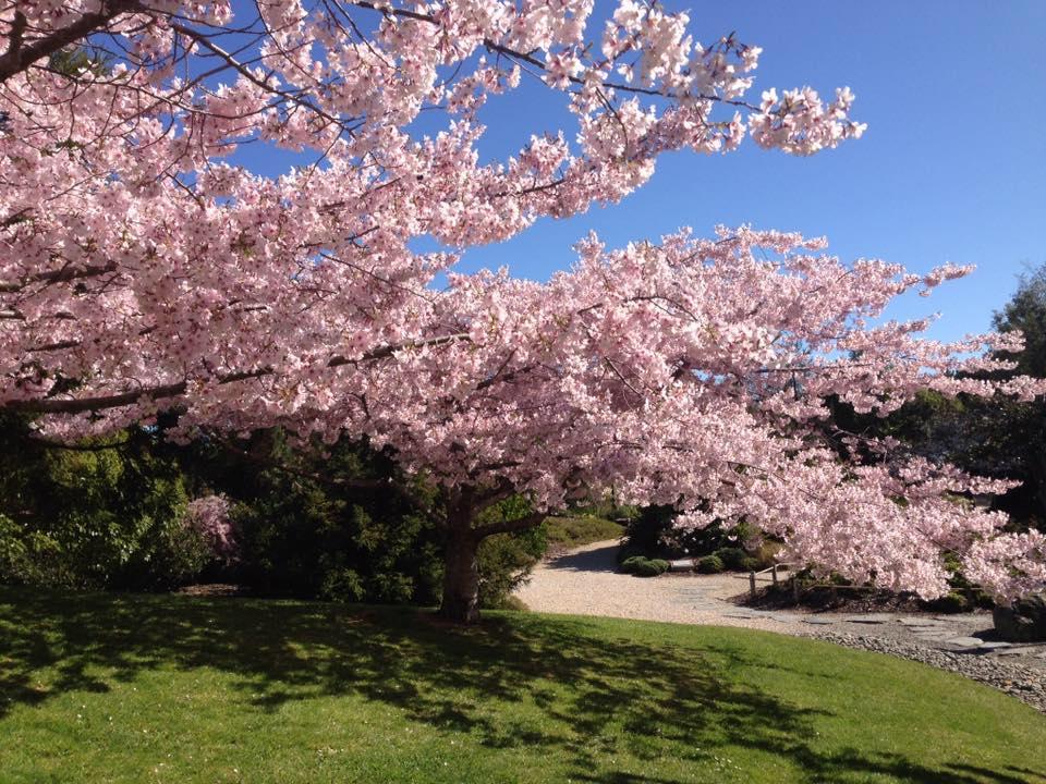 ネルソン桜フェスティバル