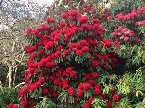 ダニーデン植物園 シャクナゲ 赤