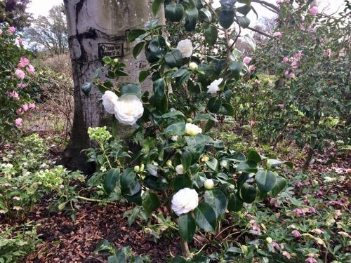 ダニーデン植物園 カメリア 白