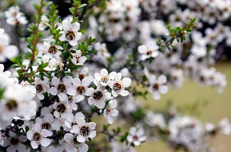 ニュージーランドマヌカの白い花