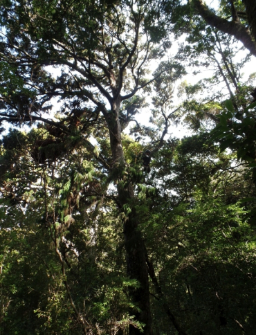 カカポの好きなリムの木
