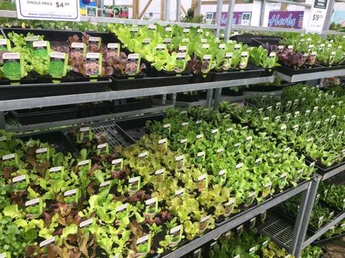 Nichols ダニーデン 野菜の苗