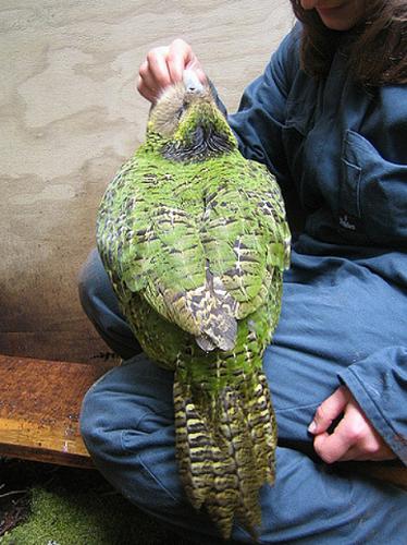 カカポの美しい羽と尾