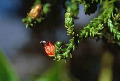 カカポの好きなリムの赤い実