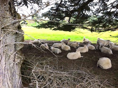 ニュージーランドは羊と人間どちらが多い?