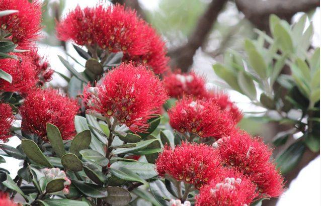 ニュージーランドのクリスマスツリー ポフツカワ