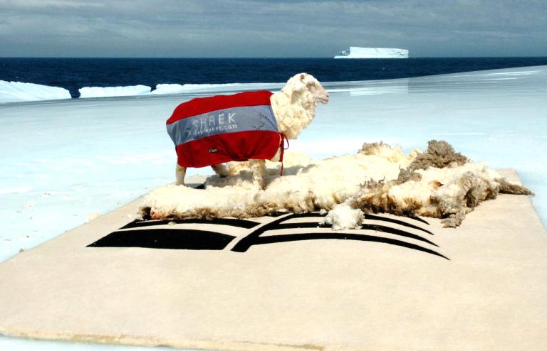 ニュージーランドの羊シュレックが氷山の上で毛刈り