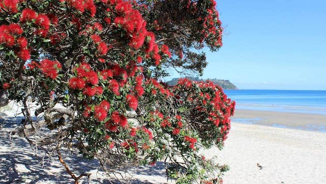 ニュージーランドのクリスマスツリー ポフツカワの特徴は?