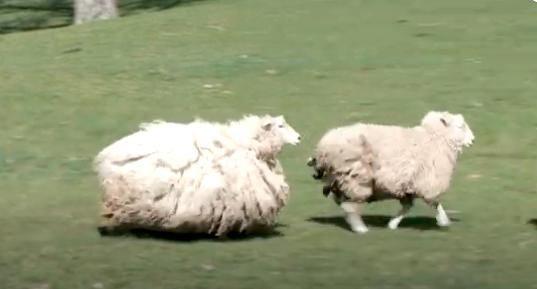 ニュージーランドのモコモコ脱走した羊ギジー・シュレック