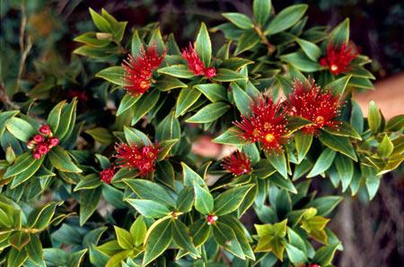 ニュージーランド南島のクリスマスツリーはサザン・ラタ