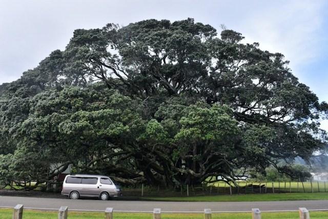 ニュージーランドのクリスマスツリー ポフツカワの見分け方