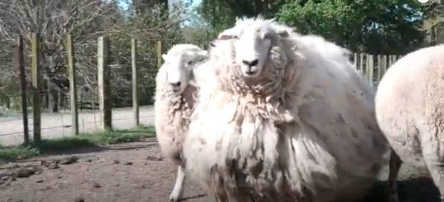 ニュージーランドのモフモフ脱走羊ギジー・シュレックちゃん